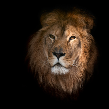 lion face: Beautiful lion on a black background. Stock Photo