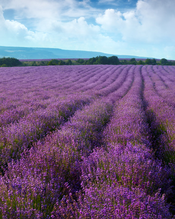 wild herbs: Lavender field on a background of clouds and mountains Stock Photo