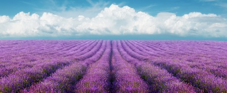 Lavender field on a background of clouds photo
