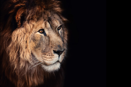 Beautiful lion on a black background. Imagens