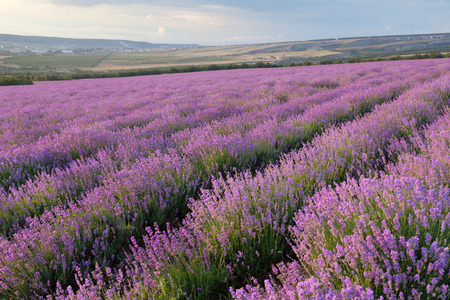 herbalism: Lavender field on a background of clouds and mountains Stock Photo