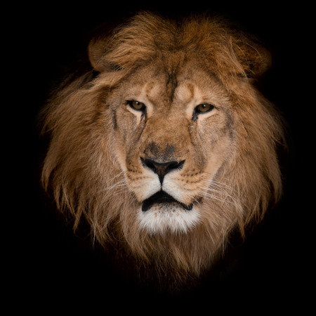 closeup: Beautiful lion on a black background. Stock Photo