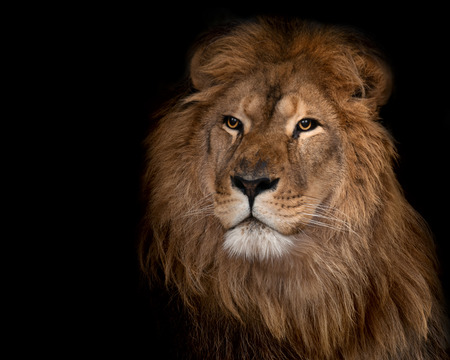 big head: Beautiful lion on a black background. Stock Photo
