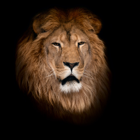 head of lion: Beautiful lion on a black background. Stock Photo