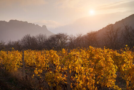 Autumn landscape. The gold foliage of a vineyard is shone in beams of a decline. On a background of mountains and the sky with clouds.