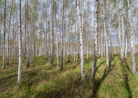A birch wood on a background of the sky with clouds. photo