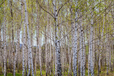 A birch wood on a background of the sky with clouds.  Imagens