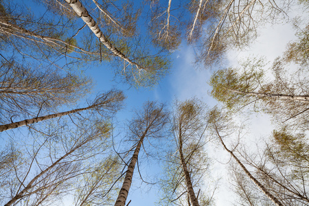 A birchwood on a background of the sky with clouds. Imagens