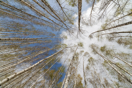 Spring landscape. A birchwood on a background of the sky with clouds. Beautiful harmonous snow-white trees. photo