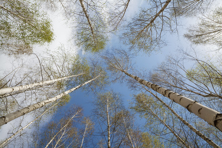 Spring landscape. A birchwood on a background of the sky with clouds. Beautiful harmonous snow-white trees.