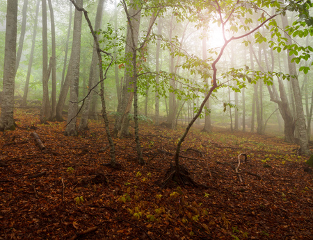 Autumn mist landscape. Evening sun shines through the green leaves of a forest. Trees wet after a rain. Imagens