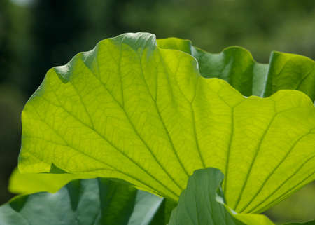 a Bright Green Lotus Leaf