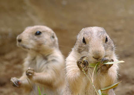 eating right: Two prairie dogs focus on the right eating bamboo grass.