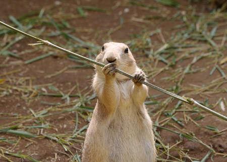 twig: A prairie dog holding bamboo twig.