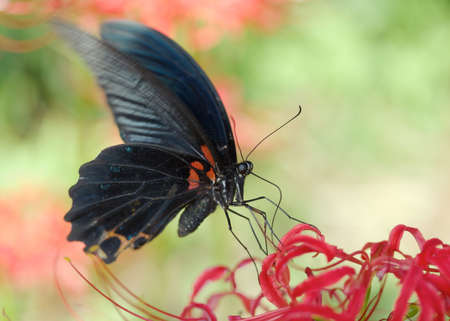 spider lily: A single black butterfly resting on red spider lily.