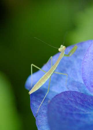 praying mantis: Praying Mantis and Hydrangea Stock Photo