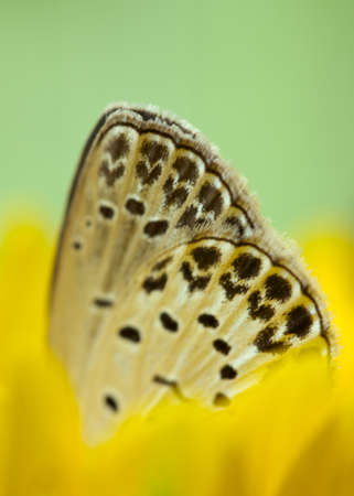 lycaenidae: A single lycaenidae resting on sunflower.