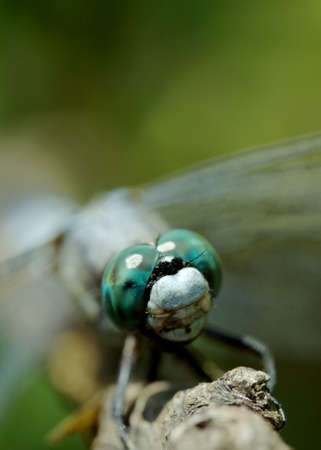 compound: Closeup of a common skimmer resting on a twig focus on compound eyes. Stock Photo