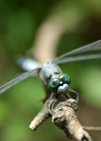 Closeup of a common skimmer resting on a twig focus on compound eyes. Stock Photo