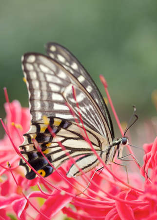spider lily: A single swallowtail butterfly resting on red spider lily.