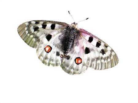 Parnasius apollo - PAPILIONIDAE - Butterfly 版權商用圖片
