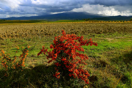 Plant with red berry and a vineyard frontal the hills in a cloudy autumn - Montalcino - Tuscany - Italy Banque d'images