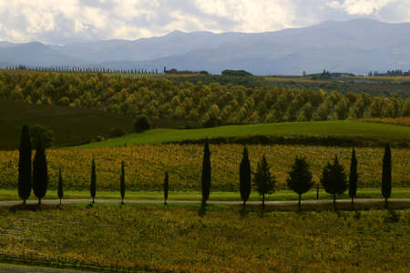 Landscape in Autumn and vineyards with yellow leaves - Montalcino - Tuscany - Italy
