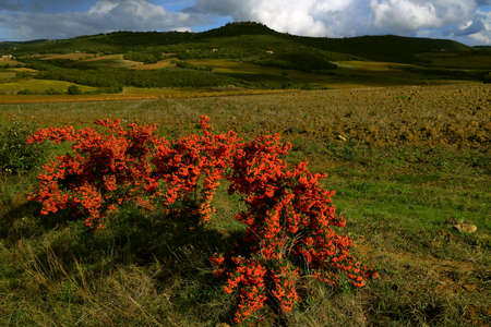 Plant with red berry and a view of an ancient village in the background - Sant'Angelo in Colle - Tuscany - Italy