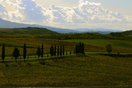 Vineyards with yellow leaves in autumn - Montalcino - Tuscany - Italy