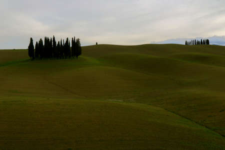 Characteristic landscape of Tuscan countryside with a group of cypresses isolated on the green hills - Cypresses of Triboli - Valley of Orcia - Tuscany - Italy