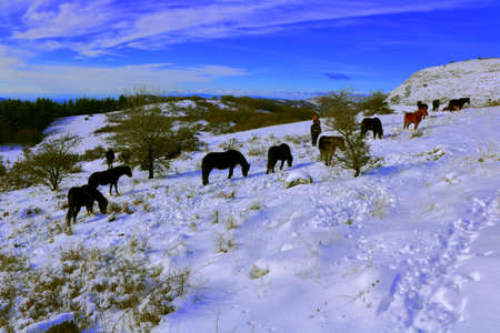 Horses graze on the ground covered with snow in the hills surrounding Monte Labbro - Grosseto - Tuscany - Italy