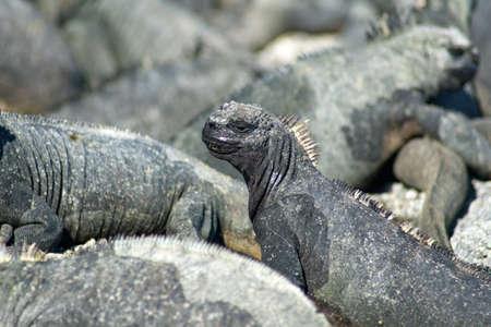Close up of the head of a marine iguana at Punta Espinoza, Fernandina Island, Galapagos, Ecuador