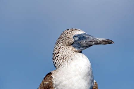 Close up of a blue footed booby (Sula nebouxii) at Punta Morena, Isabela Island, Galapagos, Ecuador