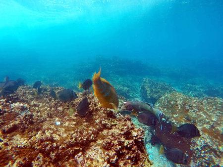 Parrot fish at Punta Cormorant, Floreana Island, Galapagos, Ecuador Standard-Bild