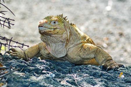Galapagos land iguana at Urbina Bay, Isabela Island, Galapagos, Ecuador
