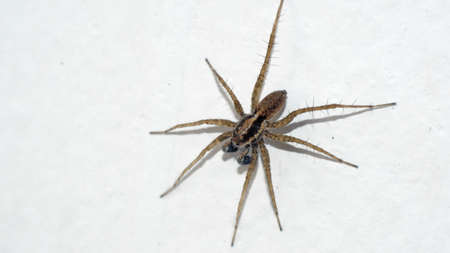 Wolf spider on a white wall in Cotacachi, Ecuador