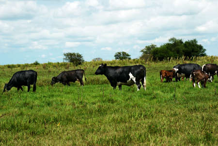 are grazed: Herd of cows grazed on the nature,