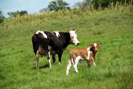 jersey cattle: The cow and bull-calfe on the grass