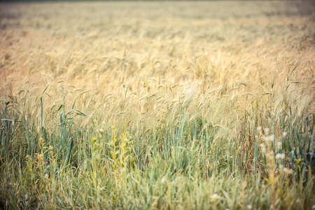 afield: Wheaten field in a sunny day