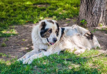 half breed: A lying old dog
