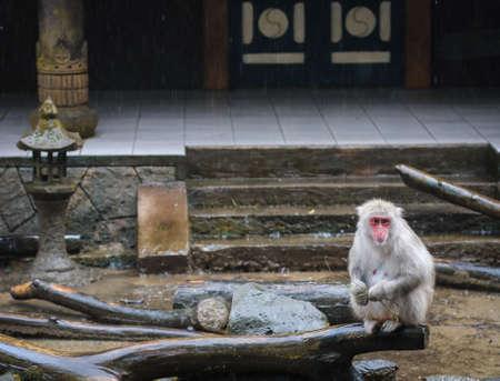 Japanese Monkey Stock Photo