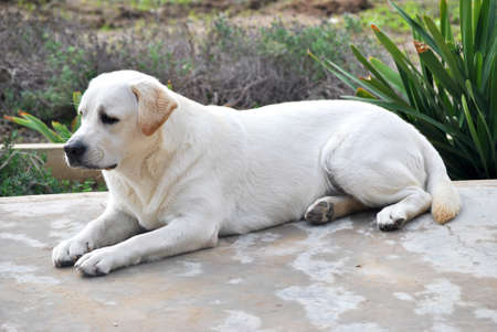 labrador retrieveer sitting