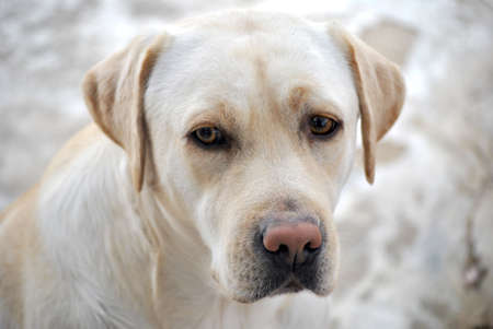labrador beauty face portrait photo
