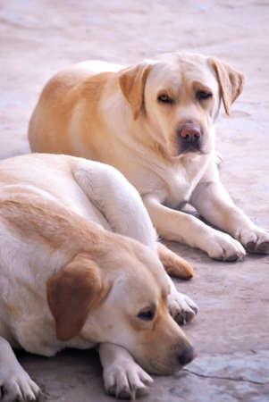 labrador retrievers taking a rest photo