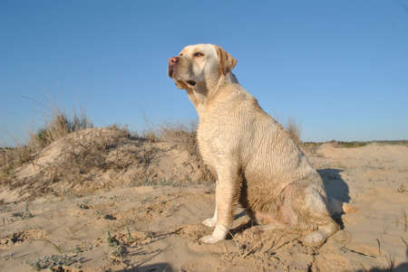 labrador retriever in beach photo