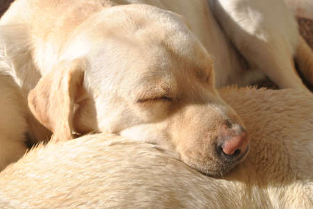 labrador retriever sleeping photo