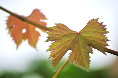 greaps plant  heart s form leaf vineyards photo