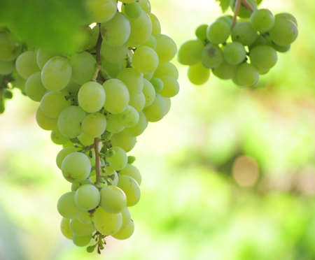 grapes in havesting day muscat