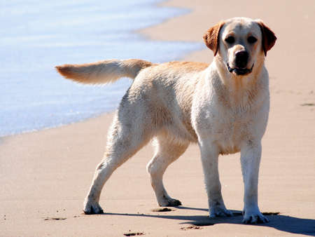 labrador retriever in beach shot playing in water photo