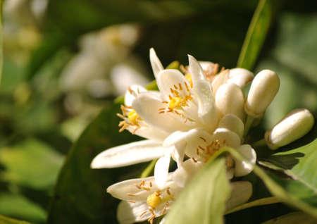 orange flower called azahar natural mediterranean